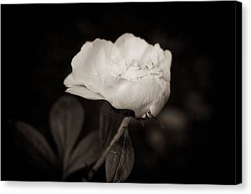 Canvas Print featuring the photograph Classic Peony by Sara Frank