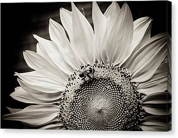 Classic Sunflower Canvas Print by Sara Frank