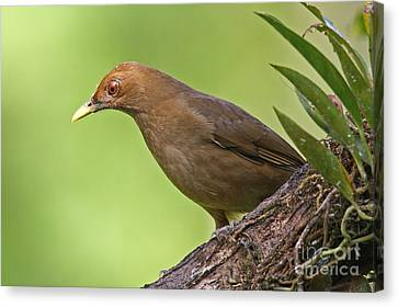 Clay-colored Thrush Canvas Print