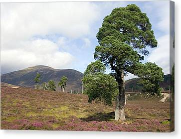 Cleared Scots Pine Forest Canvas Print by Duncan Shaw