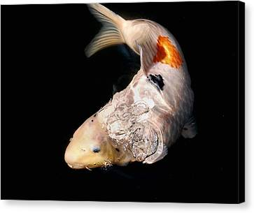 Clearly Rising Koi Canvas Print by Don Mann