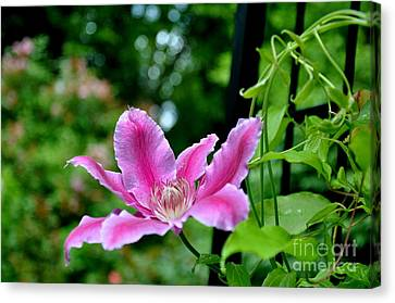 Canvas Print featuring the photograph Clematis Bloom by Tanya  Searcy