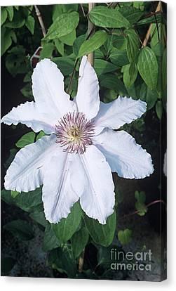 Clematis 'ville De Lyon' Flower Canvas Print by Adrian Thomas