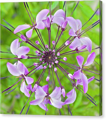 Cleome Hassleriana  Flower Canvas Print by Jacky Parker Photography
