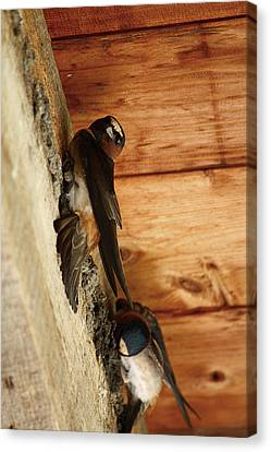 Cliff Swallows 1 Canvas Print by Scott Hovind
