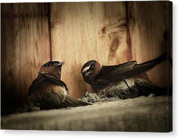 Cliff Swallows 3 Canvas Print by Scott Hovind