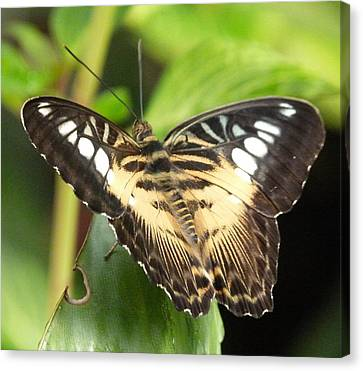 Canvas Print featuring the photograph Clipper Butterfly by Lynn Bolt