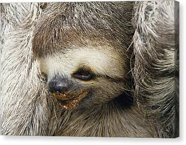 Close Portrait Of A Three Toed Sloth Canvas Print