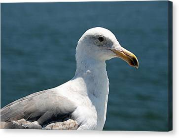 Close Seagull Canvas Print by Wendi Curtis