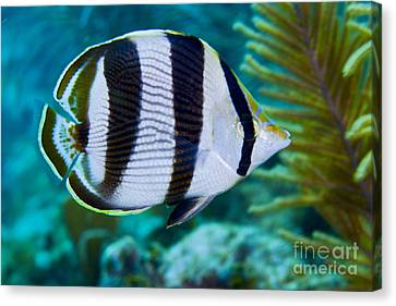 Sea Fern Canvas Print - Close-up Of A Banded Butterflyfish by Terry Moore