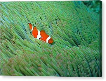 Close Up Of A Clown Anemone Fish, Okinawa, Japan Canvas Print by Mixa