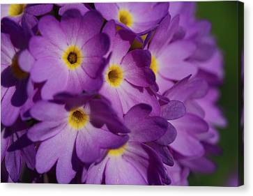 Close Up Of A Cluster Of Purple Canvas Print by Joe Petersburger