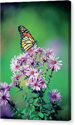 Close-up Of A Monarch Butterfly (danaus Plexippus ) On A Perennial Aster Canvas Print by Medioimages/Photodisc