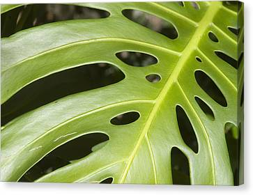 Philodendron Canvas Print - Close-up Of A Philodendron Or Monstera Leaf by Design Pics/Allan Seiden