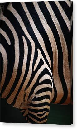 Close Up Of A Zebras Stripes Canvas Print by Nick Caloyianis