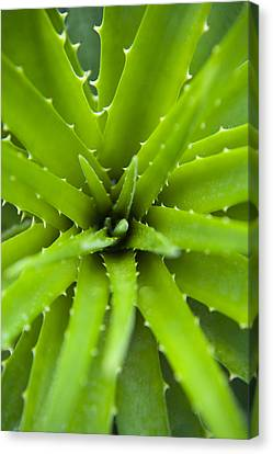 Close-up Of Aloe Plant, Atlantic Forest, Ilha Do Mel, Parana, Brazil Canvas Print by Chris Hendrickson