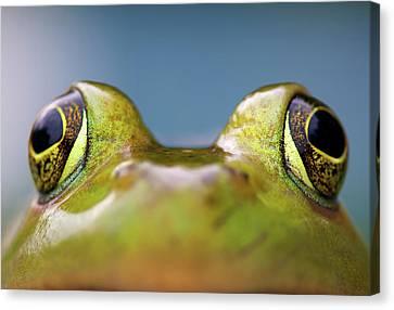 Close-up Of American Bullfrog Eyes Canvas Print