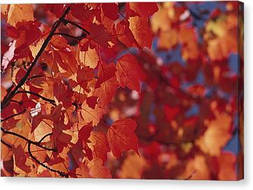 Close-up Of Autumn Leaves Canvas Print by Raymond Gehman