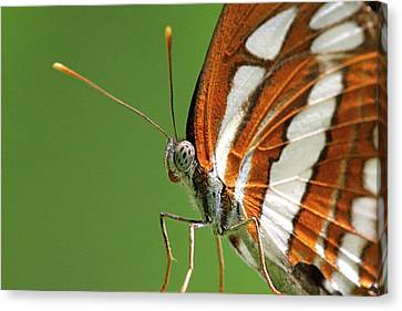 Close Up Of Butterfly Canvas Print by Annemarie van den Berg