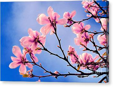 Cherry Blossums Canvas Print