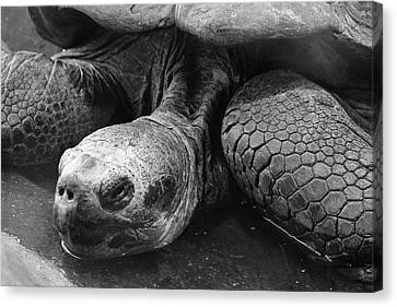 Close-up Of Galapagos Giant Tortoise Canvas Print by Rich Lewis