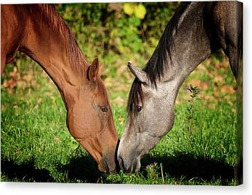 Close Up Of Horses Canvas Print by Ryan Courson Photography