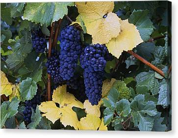 Close-up Of Ripe, Wine Grapes And Leaves Canvas Print by Natural Selection Craig Tuttle