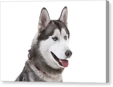 Close-up Of Siberian Husky Canvas Print by Lane Oatey/Blue Jean Images