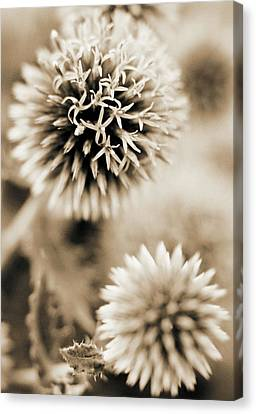 Close-up Of Spiky Plants Canvas Print by Andrea Sperling