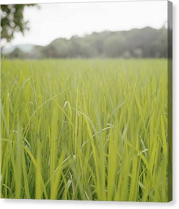 Close Up Of Tall Blades Of Grass Canvas Print by Laurie Castelli