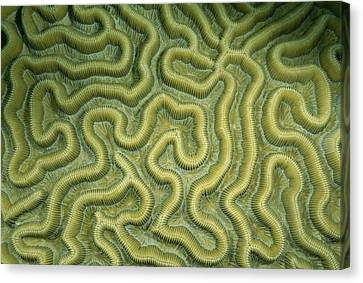 Close-up Of The Exterior Of Brain Coral Canvas Print by Wolcott Henry