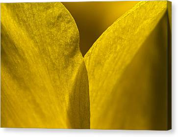 Close Up Of The Petals Of A Daffodil Canvas Print by Todd Gipstein
