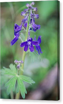 Close View Of A Blue Phlox In Bloom Canvas Print