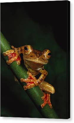 Close View Of A Harlequin Tree Frog Canvas Print
