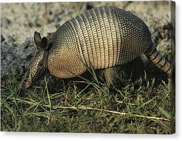nine banded armadillo drawing. nine-banded armadillo canvas print - close view of a by nine banded drawing