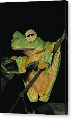 Close View Of A Wallaces Flying Frog Canvas Print