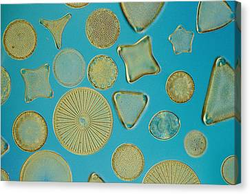 Close View Of Diatoms Canvas Print by Darlyne A. Murawski
