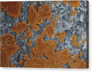 Close View Of Orange Lichen Growing Canvas Print by Stephen Sharnoff