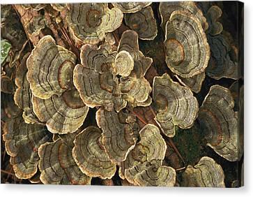 Close View Of Turkey-tail Fungi Canvas Print by Darlyne A. Murawski