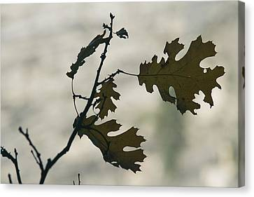 Close View Silhouette Of A California Canvas Print by Marc Moritsch