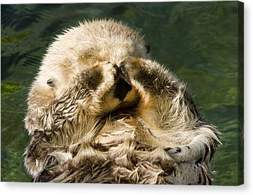 Closeup Of A Captive Sea Otter Covering Canvas Print by Tim Laman