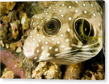 Closeup Of A White Spotted Puffer Fish Canvas Print by Tim Laman