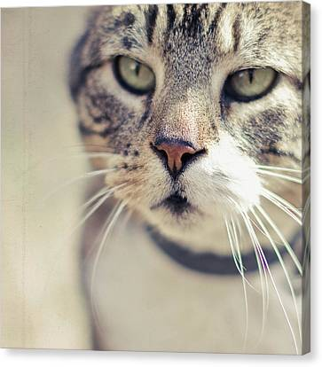 Closeup Of Face Of Tabby Cat Canvas Print by Cindy Prins