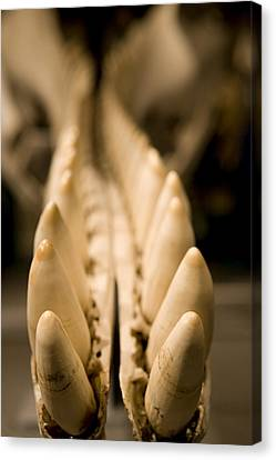 Closeup Of The Teeth Of A Sperm Whale Canvas Print by Tim Laman