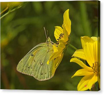 Clouded Sulphur Butterfly Din099 Canvas Print by Gerry Gantt
