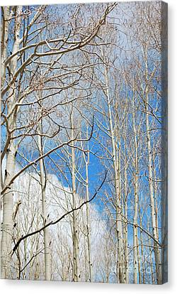 Cloudy Aspen Sky Canvas Print by Donna Greene