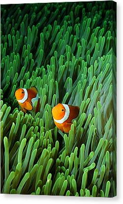 Clown Anemonefish (amphiprion Percula) Canvas Print by Stephen Frink