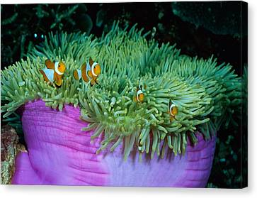 Clown Anemonefish In A Large Sea Canvas Print by Wolcott Henry