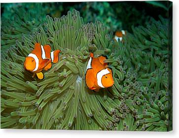 Clown Anemonefish In The Tentacles Canvas Print by Wolcott Henry