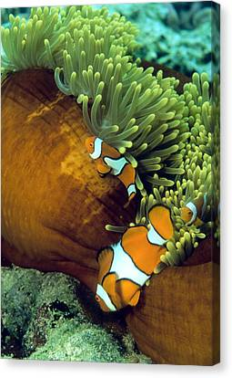 Clown Anemonefish Canvas Print by Peter Scoones